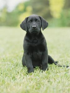Black Labrador Puppy by Jim Craigmyle