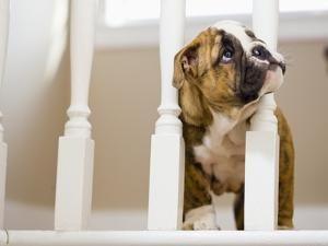 Bulldog puppy with head between balusters by Jim Craigmyle
