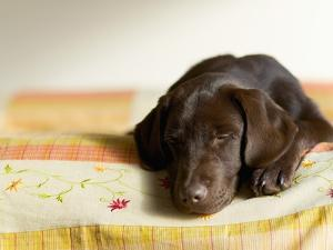 Chocolate Lab Puppy on Bed by Jim Craigmyle