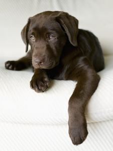 Chocolate Lab Puppy by Jim Craigmyle