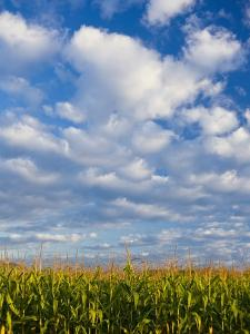 Corn Plants and Sky by Jim Craigmyle