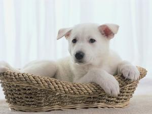 German Shepherd Pup Resting in a Wicker Basket by Jim Craigmyle