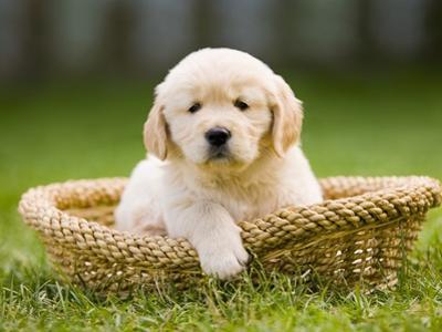 Golden Retriever Puppy in Pet Bed