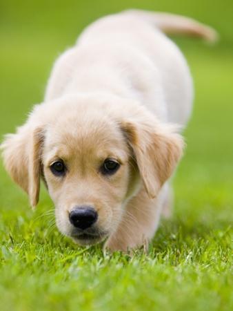 Golden Retriever Puppy Playing Outdoors