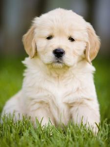 Golden Retriever Puppy by Jim Craigmyle