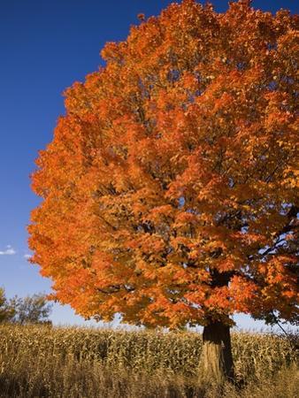Maple Tree Beside Cornfield