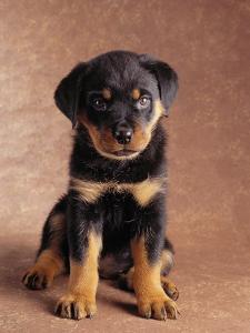 Rottweiler Puppy by Jim Craigmyle