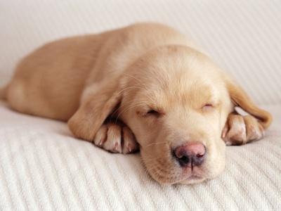 Sleeping Labrador Puppy