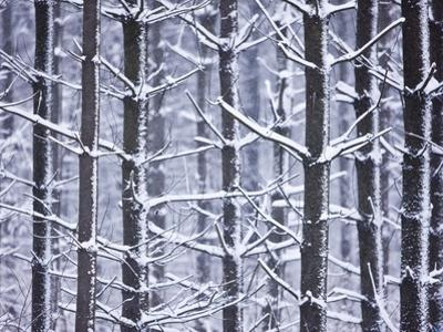 Snow-covered Trees in Forest