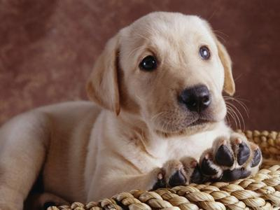 Yellow Lab Puppy in Basket