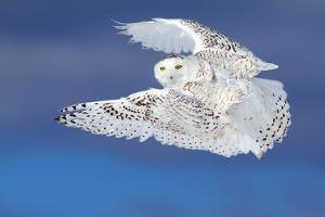 Flight of the Snowy - Snowy Owl by Jim Cumming