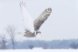 Snowy Owl (Bubo Scandiacus) Flies over a Snowy Field by Jim Cumming