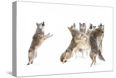 The Choir Coyotes
