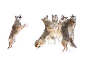 The Choir - Coyotes by Jim Cumming