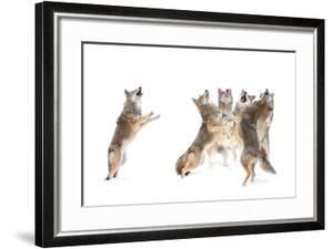 The Choir - Coyotes by Jim Cumming