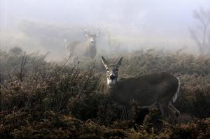 The Rut In On White-Tailed Deer by Jim Cumming