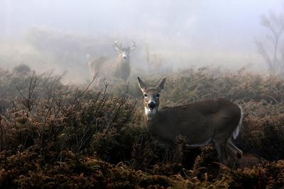 The Rut in on - White-Tailed Deer