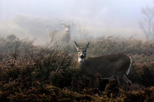 The Rut in on - White-Tailed Deer by Jim Cumming