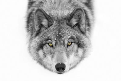 Yellow Eyes - Timber Wolf