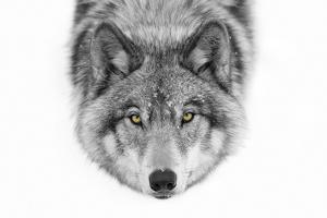 Yellow Eyes - Timber Wolf by Jim Cumming