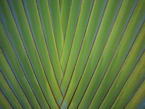 Close-Up of Palm Leaves, Bavaro, Punta Cana, Dominican Republic by Jim Engelbrecht