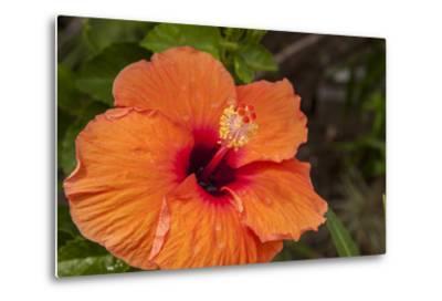 Hibiscus Flower, Cozumel, Mexico