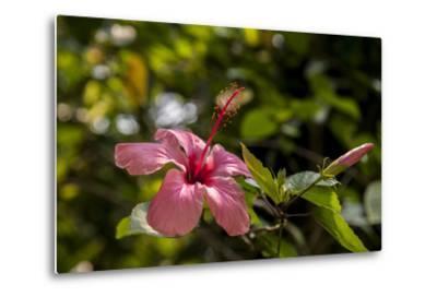 Hibiscus Flower, Roatan, Honduras