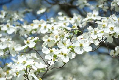 Massachusetts, Boston, Arnold Arboretum, Dogwood Tree
