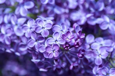 Massachusetts, Boston, Arnold Arboretum, Purple Lilac Tree