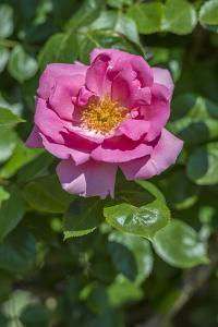 Pink Climbing Rose by Jim Engelbrecht