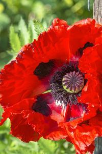 Red poppy by Jim Engelbrecht