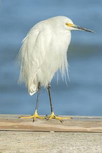 USA, Florida, Daytona Beach, Snowy Egret by Jim Engelbrecht