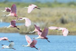 USA, Florida, Merritt Island, NWF, Roseate Spoonbills by Jim Engelbrecht