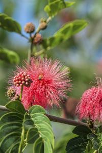 USA, Florida, New Smyrna Beach, Calliandra, Powder Puff Plant by Jim Engelbrecht