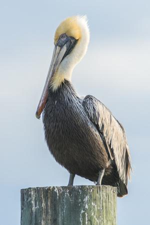 USA, Florida, New Smyrna Beach, Pelican Perched on Pylon