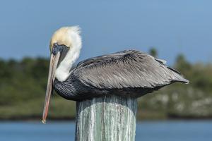 USA, Florida, New Smyrna Beach, Pelican Roosting on Pylon by Jim Engelbrecht
