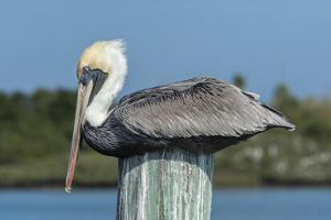 USA, Florida, New Smyrna Beach, Pelican Roosting on Pylon by Jim Engelbrecht