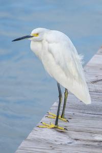 USA, Florida, New Smyrna Beach, Snowy Egret on dock. by Jim Engelbrecht
