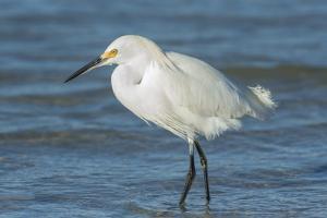 USA, Florida, New Smyrna Beach, Snowy Egret by Jim Engelbrecht