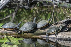 USA, Florida, Orange City, St. Johns River, Blue Spring SP, turtles. by Jim Engelbrecht