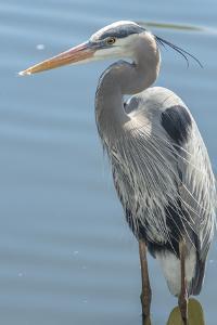 USA, Florida, Orlando. Great Blue Heron at Gatorland. by Jim Engelbrecht