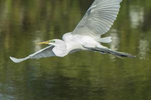 USA, Florida, Orlando. Great Egret at Gatorland. by Jim Engelbrecht