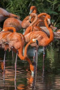USA, Florida, Orlando. Pink Flamingos at Gatorland. by Jim Engelbrecht