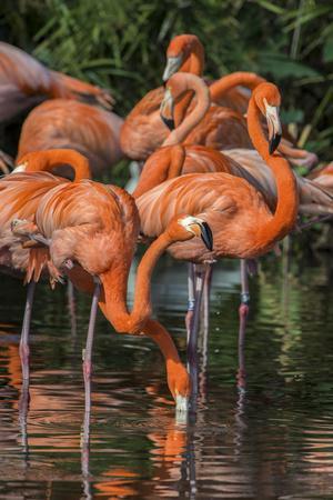 USA, Florida, Orlando. Pink Flamingos at Gatorland.