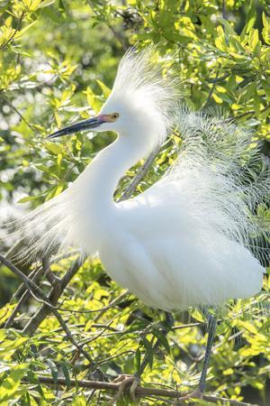 USA, Florida, Orlando. Snowy Egret at Gatorland.