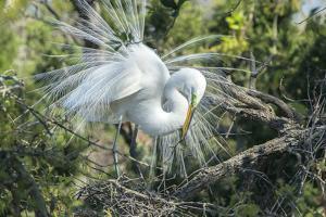 USA, Florida, St. Augustine, Great Egret at Alligator Farm rookery by Jim Engelbrecht