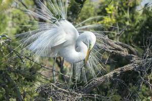 USA, Florida, St. Augustine, Great Egret at Alligator Farm rookery by Jim Engelbrecht