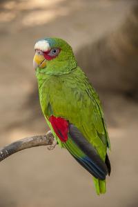 White Fronted Amazon Parrot, Roatan Butterfly Garden, Tropical Bird, Honduras by Jim Engelbrecht