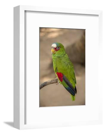White Fronted Amazon Parrot, Roatan Butterfly Garden, Tropical Bird, Honduras