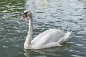 White swan by Jim Engelbrecht
